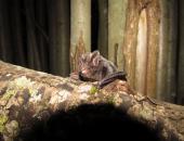 Širokouhi netopir (Barbastells barbastellus), foto: Primož Presetnik