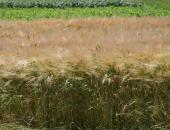 Izzivi pred novo žetvijo pšenice