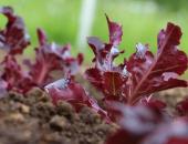 Ena od prednostnih nalog javne službe kmetijskega svetovanja je spodbujanje pridelave zelenjadnic