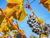 Izteka se rok za prijavo pridelka grozdja in...