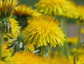 Pred uporabo sredstev je treba pod drevesi odstraniti cvetočo podrast, najbolje zgodaj zjutraj ali pozno zvečer, ko na njej ni opraševalcev.