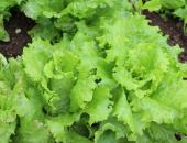 Previdnost pri nakupu zelenjave
