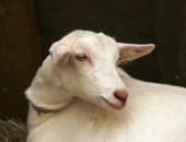 Bolezen najbolj prizadene drobnico, glavni prenašalec pa je govedo.