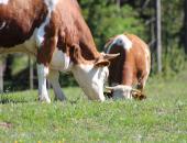Rok za uveljavitev pomoči za goveje meso je do jutri!