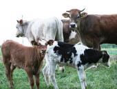 Nadomestilo za rejce govedi