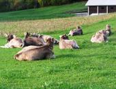 Nova oblika potnega lista za govedo