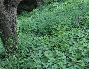 V senčnem delu gozdnega roba KG Andrejevi prevladujejo mrtve koprive, ki sodijo med najbolj priljubljene hranilne rastline za divje opraševalce – čmrlje. Foto: dr. Sonja Škornik