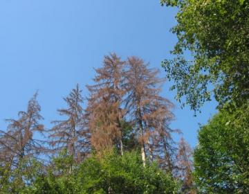 Od aprila do vključno septembra naj lastniki vsaj dvakrat mesečno pregledujejo gozdove s smreko.