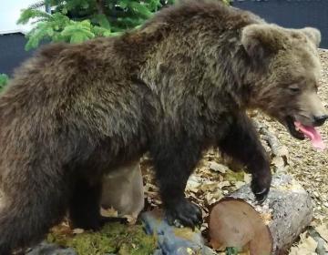 Preveč medvedov povečuje možnost za nevarna srečanja