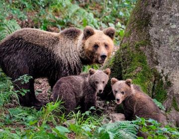 Uravnavanje populacije divjih zveri je nujno