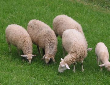 Prehrana mesnih ovc in vzreja jagnjet (rejski cilj...