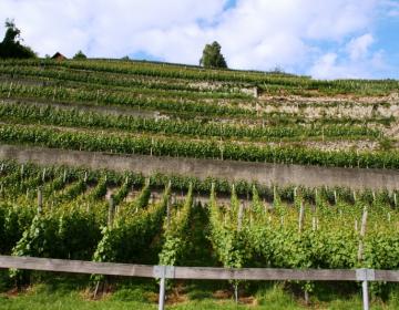Za obnovo vinogradov je treba spoštovati določena pravila in pogoje