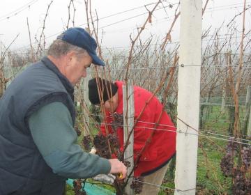 Obveznosti vinogradnikov in vinarjev