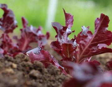 Na tržnicah le prodaja sadik zelenjadnic in sadneg...