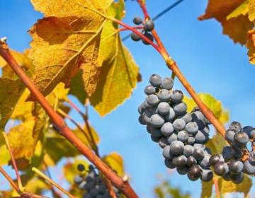 Izteka se rok za prijavo pridelka grozdja in vina
