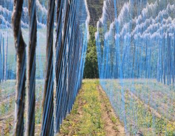 Optimizacija pridelave hmelja