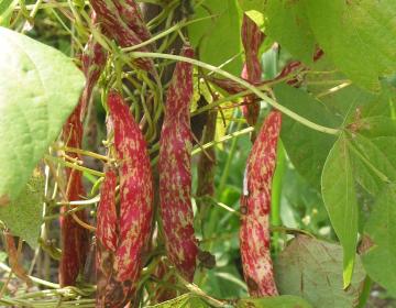 Vabljeni k izpolnitvi ankete o starih sortah rastlin