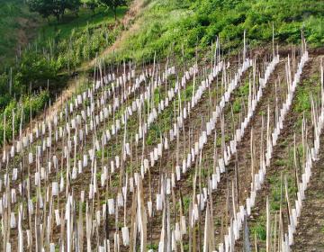 Nujno povečati obnovo vinogradov