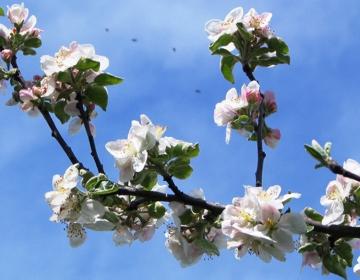 Sredstvo je potrebno zaradi varovanja čebel in drugih opraševalcev uporabiti do najpozneje 14 dni pred cvetenjem jablan