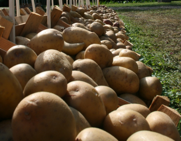Pobuda za finančno pomoč pridelovalcem krompirja