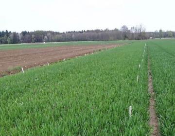 Oljna ogrščica in ozimna žita