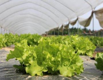 Uporaba zastirke pri pridelavi zelenjave