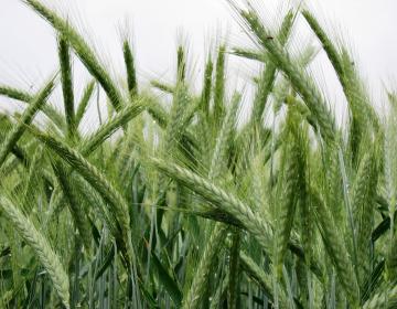 Z novimi ukrepi  SKP se bo po mnenju članov odbora samooskrba s hrano v Sloveniji še poslabšala.