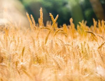 Pregled priporočenih sort pšenice in ječmena za setev to jesen.