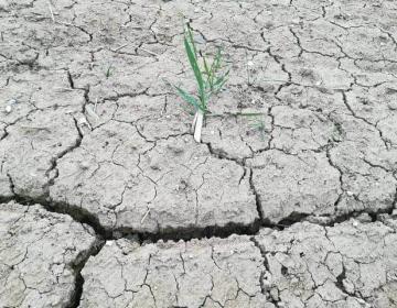 Posledice aprilske suše na kmetijskih rastlinah
