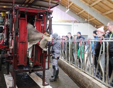 O zdravju parkljev in prehrani krav