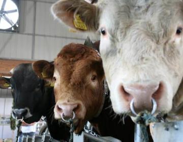 Strokovne naloge v živinoreji se spet izvajajo
